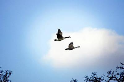 Canada Geese In Flight Art Print