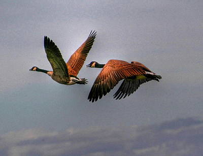 Print featuring the photograph Canada Geese In Flight by Larry Trupp