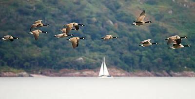 Avian Photograph - Canada Geese In Flight Mull Scotland by Mr Bennett Kent