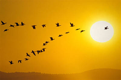Canada Geese Migration In Sunset Print by John Warden