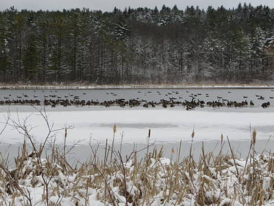 Photograph - Canada Geese by Nancy-Fay Hecker
