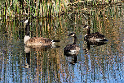 Photograph - Canada Geese Reflections by Kathleen Bishop