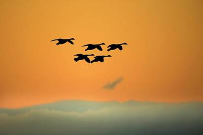 Gaggle Photograph - Canada Geese by Simon Booth