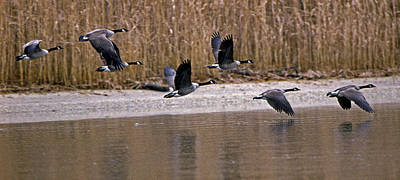Of Birds Photograph - Canada Geese by Skip Willits