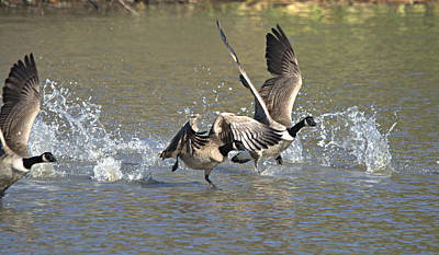 Sultry Plants - Canada Geese Takeoff by Roy Williams