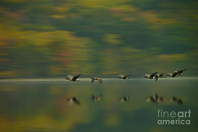 Canada Geese Whoosh Art Print by Steve Clough