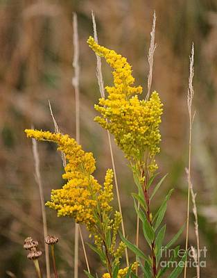 Photograph - Canada Goldenrod by Erica Hanel