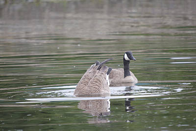 Photograph - Canada Goose - 0048 by S and S Photo