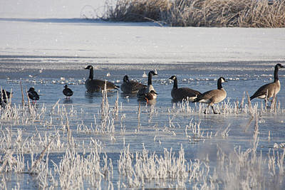 Photograph - Canada Goose - 0049 by S and S Photo