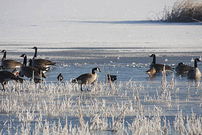 Photograph - Canada Goose - 0050 by S and S Photo