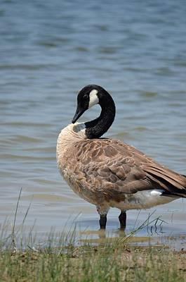 Photograph - Canada Goose 2 by Maria Urso