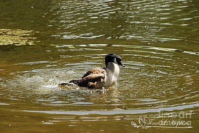 Photograph - Canada Goose 20120430a_47a by Tina Hopkins