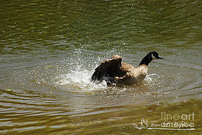 Photograph - Canada Goose 20120430a_50a by Tina Hopkins