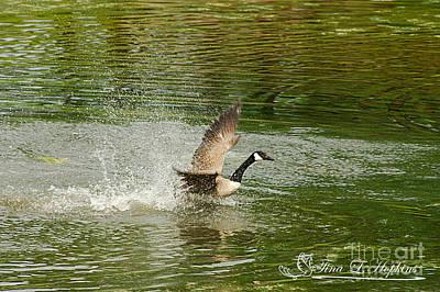 Photograph - Canada Goose 20120515_172a by Tina Hopkins
