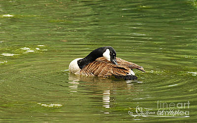 Photograph - Canada Goose 20120515_213a by Tina Hopkins