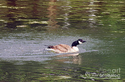 Photograph - Canada Goose 20120515_259a by Tina Hopkins