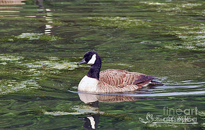 Photograph - Canada Goose 20120515_261a by Tina Hopkins