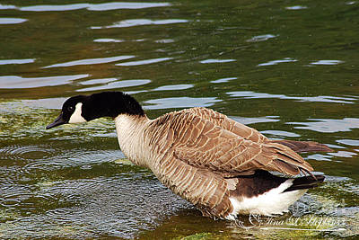 Photograph - Canada Goose 20120515_298a by Tina Hopkins