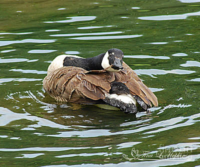 Photograph - Canada Goose 20120515_305a by Tina Hopkins