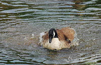 Photograph - Canada Goose 20120515_320a by Tina Hopkins