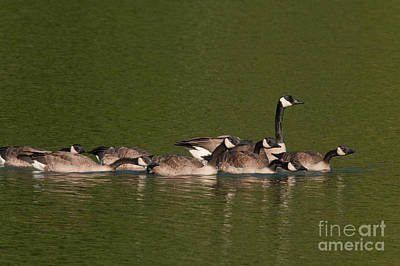Canada Goose And Chicks Art Print by Ron Sanford
