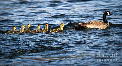 Photograph - Canada Goose And Goslings by Robert Bales
