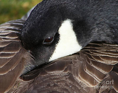 Sean Rights Managed Images - Canada Goose at Rest Royalty-Free Image by Sue Harper