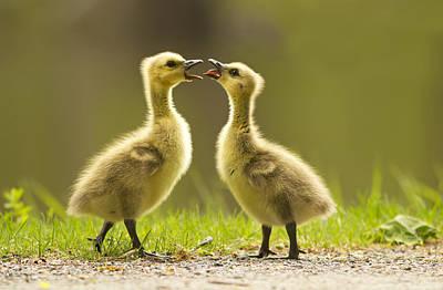 Baby Bird Photograph - Canada Goose Babies by Mircea Costina Photography