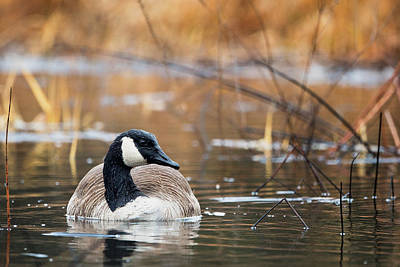 Goose Photograph - Canada Goose by Bill Wakeley