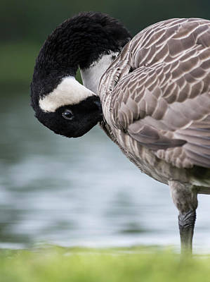 Canada Goose (branta Canadensis Art Print by Martin Zwick