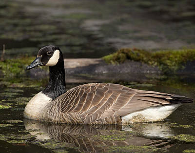 Photograph - Canada Goose by Brian Magnier