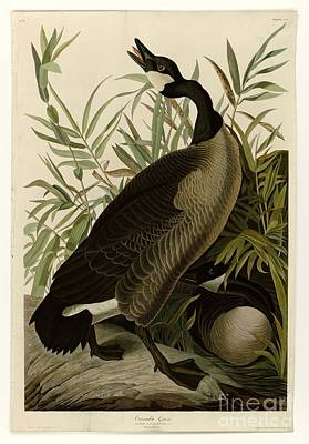 Geese Painting - Canada Goose by Celestial Images