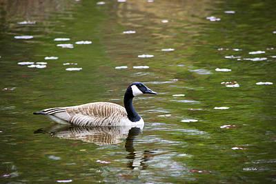 Photograph - Canada Goose by Christina Rollo