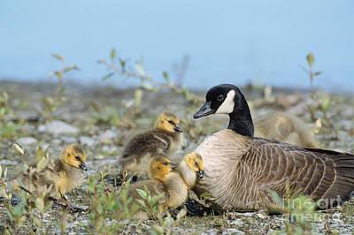 Canada Goose Family Art Print