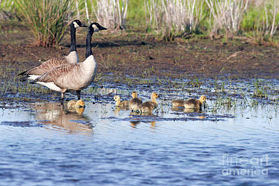Photograph - Canada Goose Family by Martha Marks