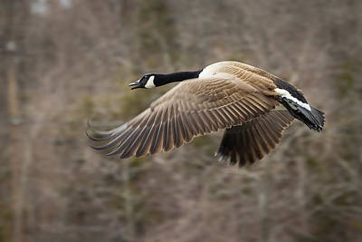 Pinion Photograph - Canada Goose Flying by Dancasan Photography