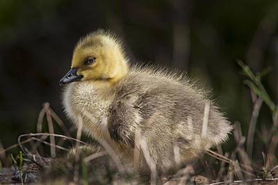 Photograph - Canada Goose Gosling by Jo Ann Tomaselli