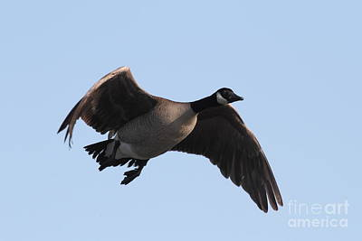 Photograph - Canada Goose In Flight 7d21951 by Wingsdomain Art and Photography