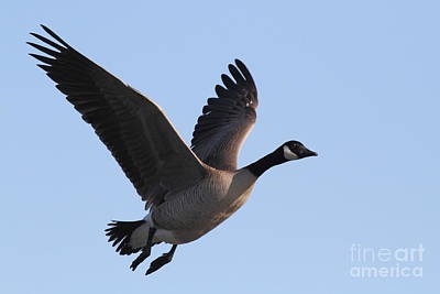Photograph - Canada Goose In Flight 7d21955 by Wingsdomain Art and Photography