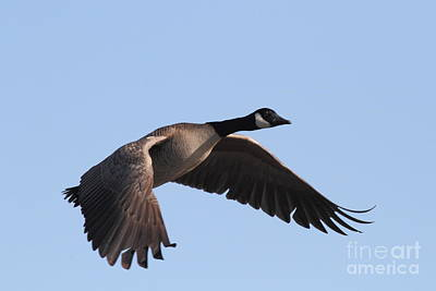 Photograph - Canada Goose In Flight 7d21956 by Wingsdomain Art and Photography
