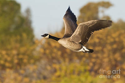 Canada Goose In The Skies  Art Print