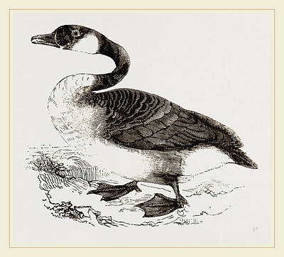 Canada Goose Art Print by Litz Collection