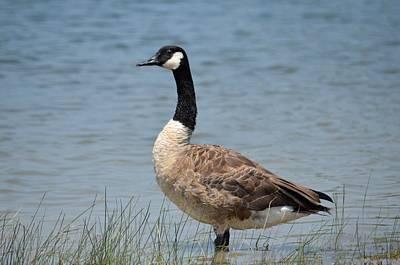 Photograph - Canada Goose by Maria Urso
