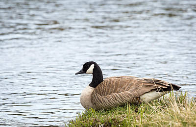 Photograph - Canada Goose by Michael Chatt