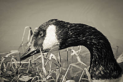 Photograph - Canada Goose Monotone by Bradley Clay