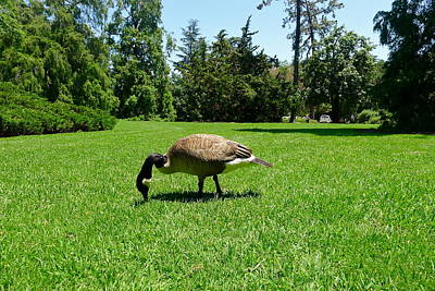 Photograph - Canada Goose On The Lawn by Denise Mazzocco