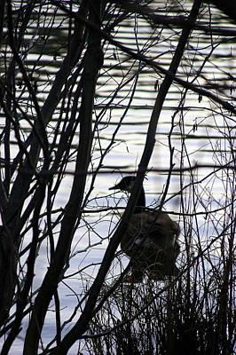 Photograph - Canada Goose by Paula Tohline Calhoun