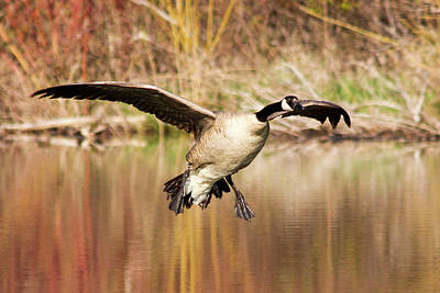 Canada Goose Photograph - Canada Goose Prepares To Land In Small by Chuck Haney