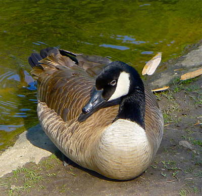 Photograph - Canada Goose Sitting Pretty by Denise Mazzocco