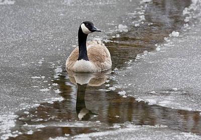 Photograph - Canada Goose by Steven Ralser